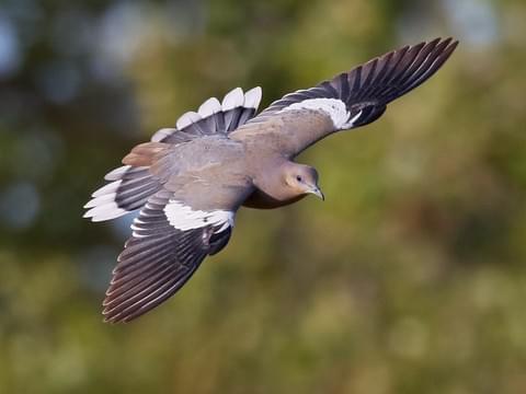 White Wing in Flight